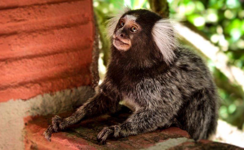 Mico De Estimação Uma Péssima Idéia Animal Business Brasil